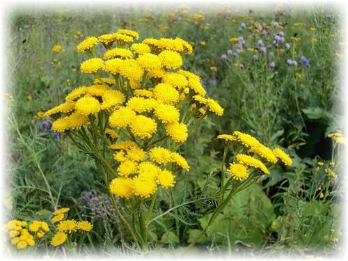 Лечебные растения. Пижма