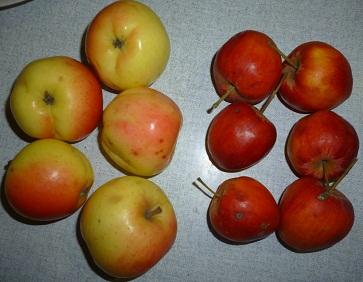 два вида яблок