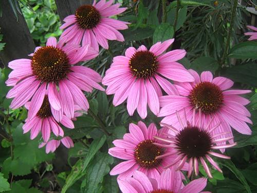 Эхинацея пурпурная поможет повысить иммунитет